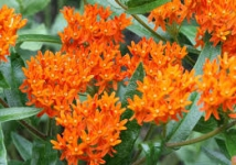 Better Asclepias and Anigozanthos