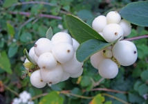 Better Snowberry